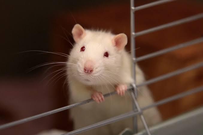 Rat Fumigation in karachi
